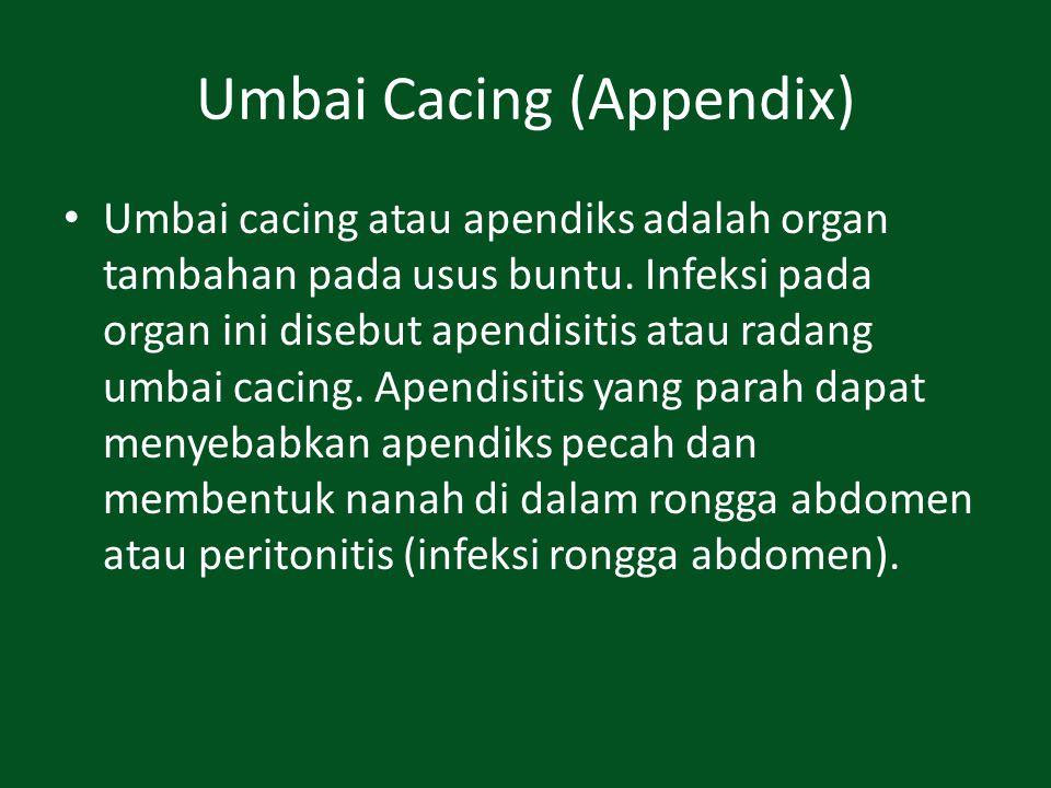 Umbai Cacing (Appendix)