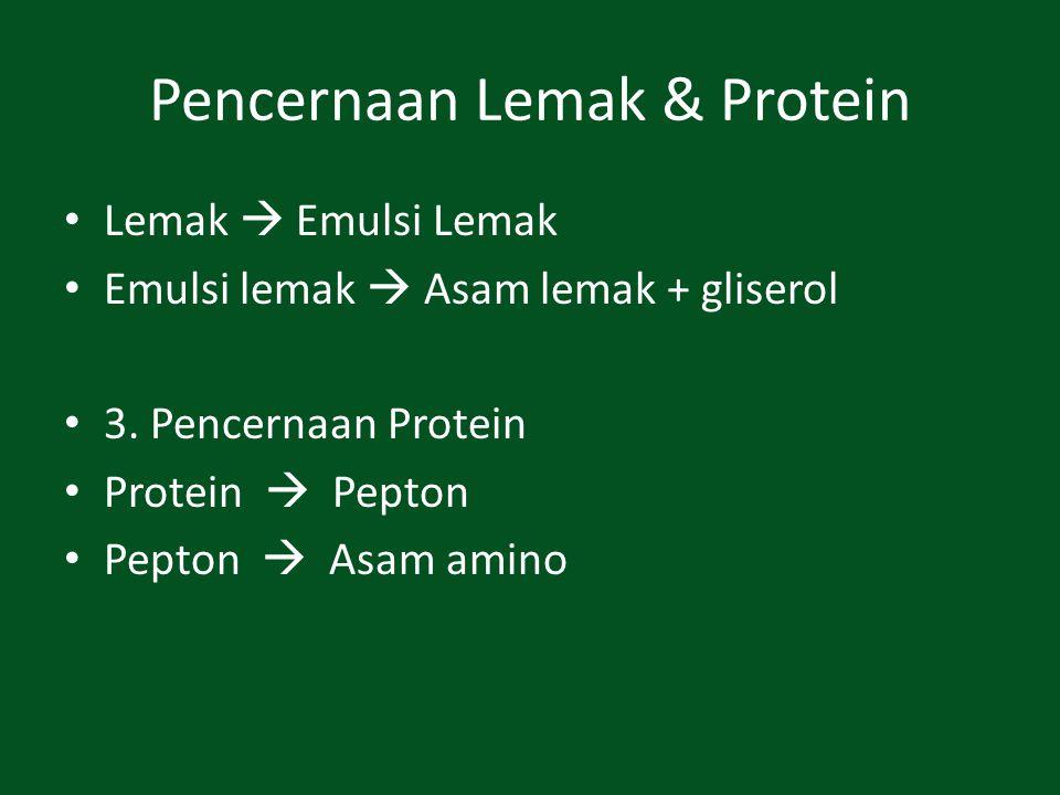 Pencernaan Lemak & Protein