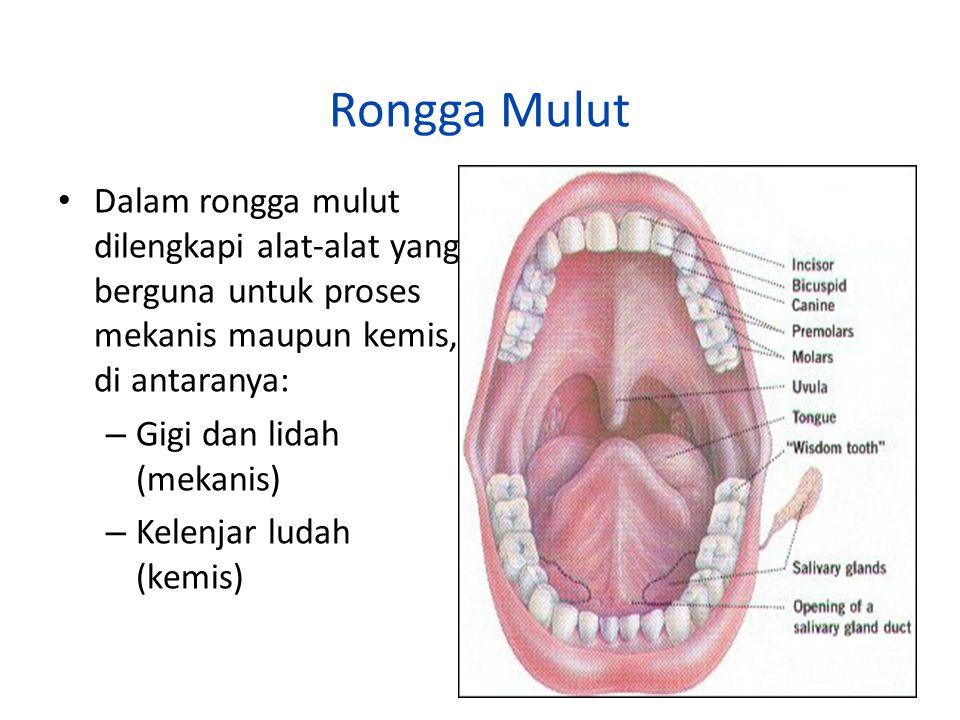 Rongga Mulut Dalam rongga mulut dilengkapi alat-alat yang berguna untuk proses mekanis maupun kemis, di antaranya: