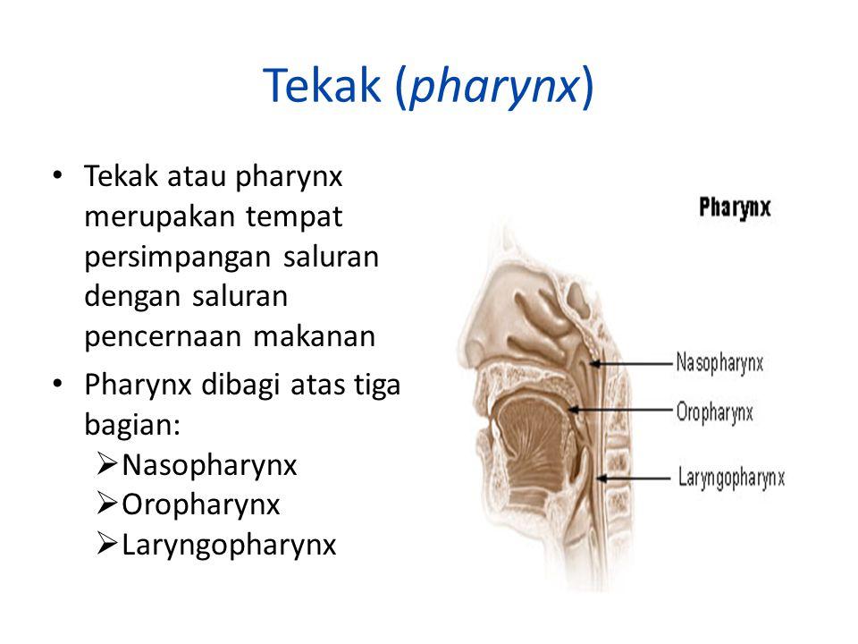 Tekak (pharynx) Tekak atau pharynx merupakan tempat persimpangan saluran dengan saluran pencernaan makanan.