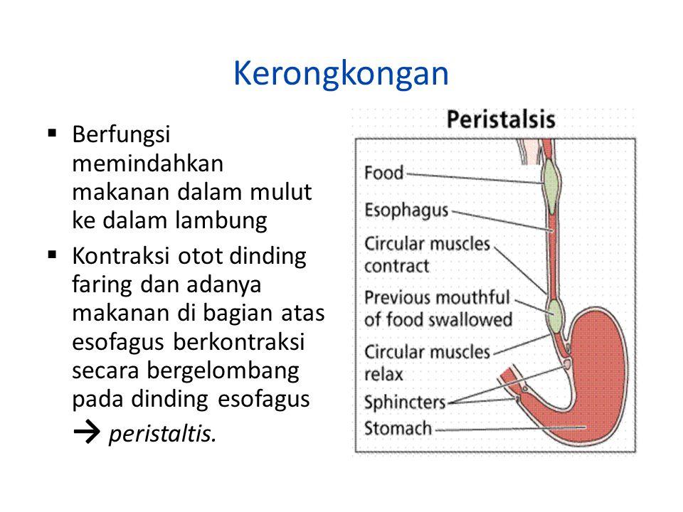 Kerongkongan Berfungsi memindahkan makanan dalam mulut ke dalam lambung.