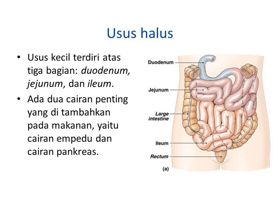 Usus halus Usus kecil terdiri atas tiga bagian: duodenum, jejunum, dan ileum.