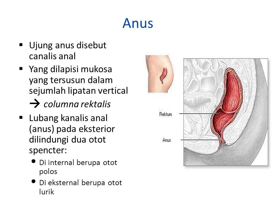 Anus Ujung anus disebut canalis anal