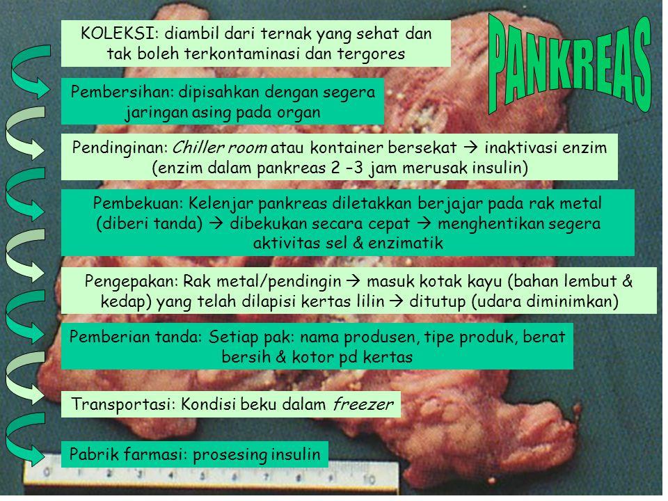 PANKREAS KOLEKSI: diambil dari ternak yang sehat dan tak boleh terkontaminasi dan tergores.