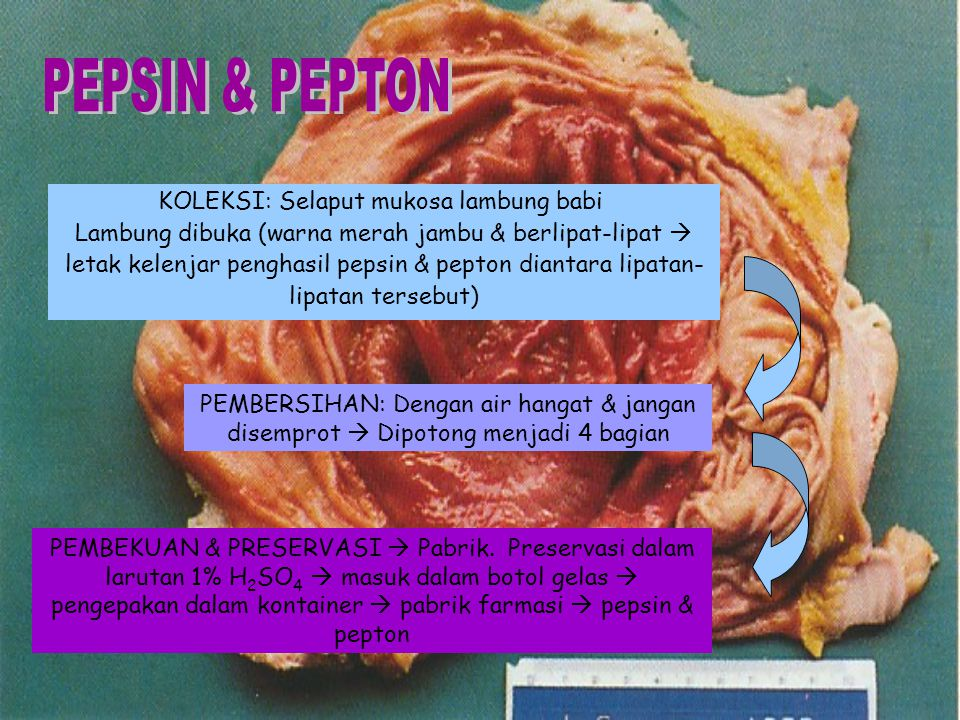 PEPSIN & PEPTON KOLEKSI: Selaput mukosa lambung babi