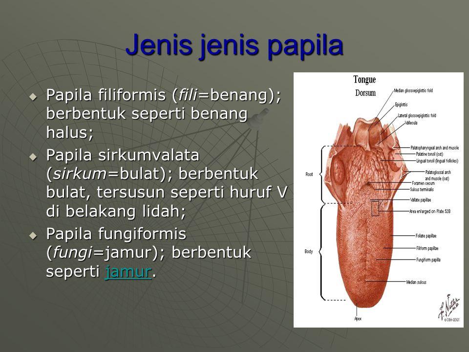 Jenis jenis papila Papila filiformis (fili=benang); berbentuk seperti benang halus;