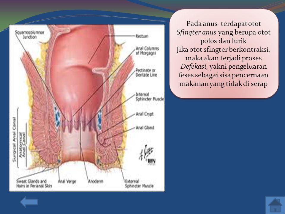 Pada anus terdapat otot Sfingter anus yang berupa otot polos dan lurik