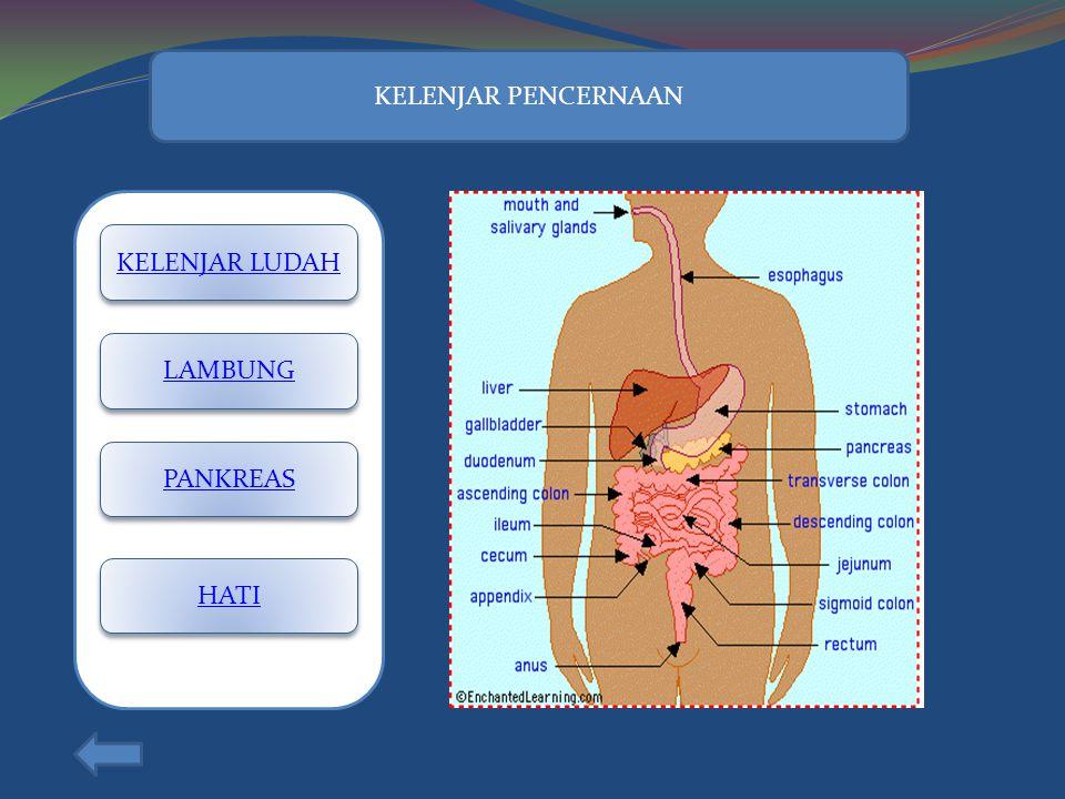 KELENJAR PENCERNAAN KELENJAR LUDAH LAMBUNG PANKREAS HATI
