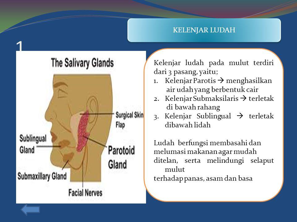 KELENJAR LUDAH 1. Kelenjar ludah pada mulut terdiri dari 3 pasang, yaitu; Kelenjar Parotis  menghasilkan.
