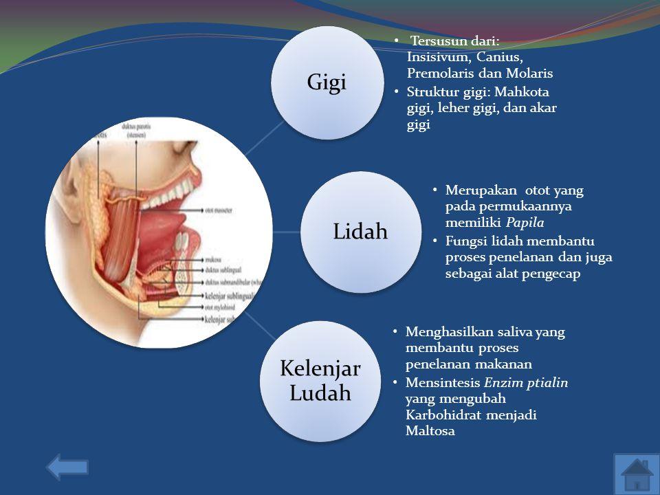 Gigi Tersusun dari: Insisivum, Canius, Premolaris dan Molaris. Struktur gigi: Mahkota gigi, leher gigi, dan akar gigi.