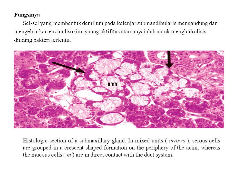 Fungsinya Sel-sel yang membentuk demilum pada kelenjar submandibularis mengandung dan mengeluarkan enzim lisozim, yanng aktifitas utamanyaialah untuk menghidrolisis dinding bakteri tertentu.
