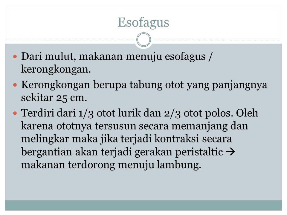 Esofagus Dari mulut, makanan menuju esofagus / kerongkongan.