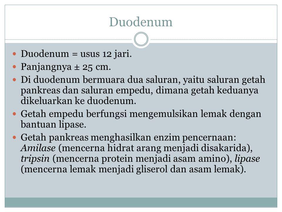 Duodenum Duodenum = usus 12 jari. Panjangnya ± 25 cm.
