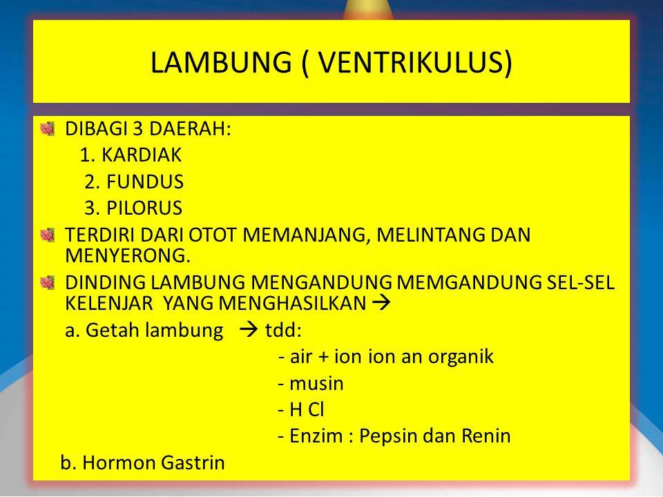 LAMBUNG ( VENTRIKULUS)