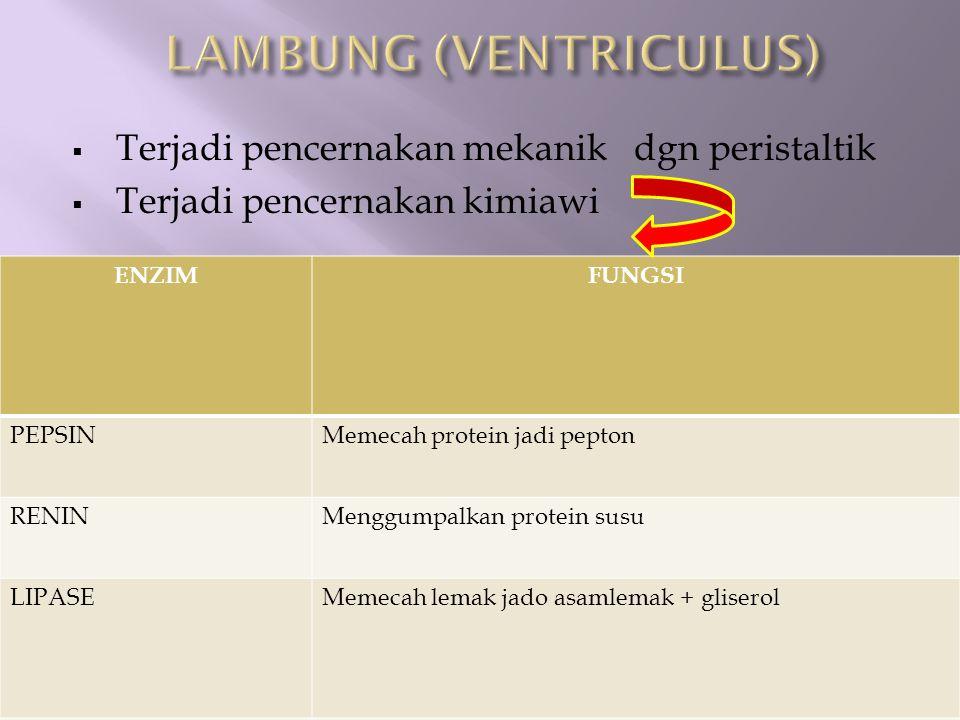 LAMBUNG (VENTRICULUS)