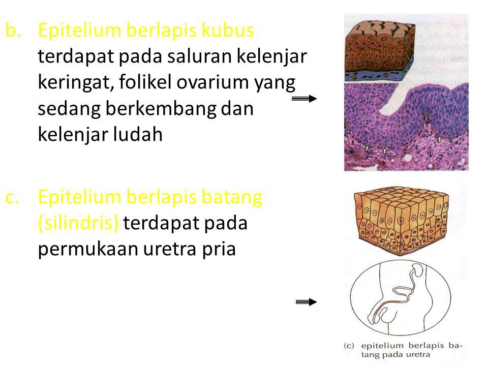 Epitelium berlapis kubus terdapat pada saluran kelenjar keringat, folikel ovarium yang sedang berkembang dan kelenjar ludah