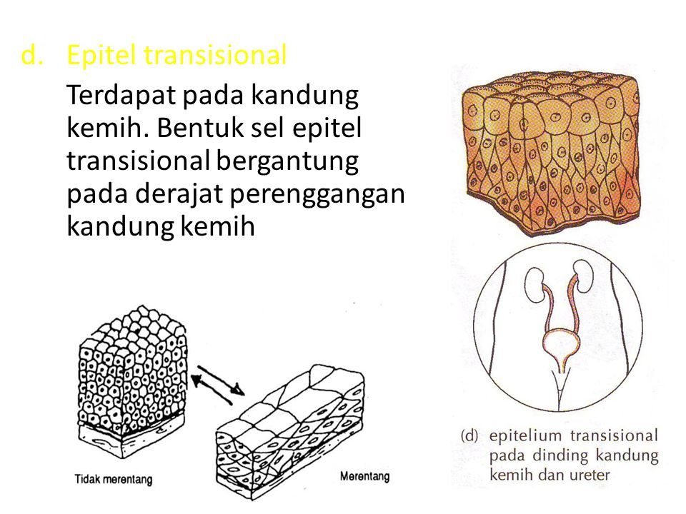 Epitel transisional Terdapat pada kandung kemih.