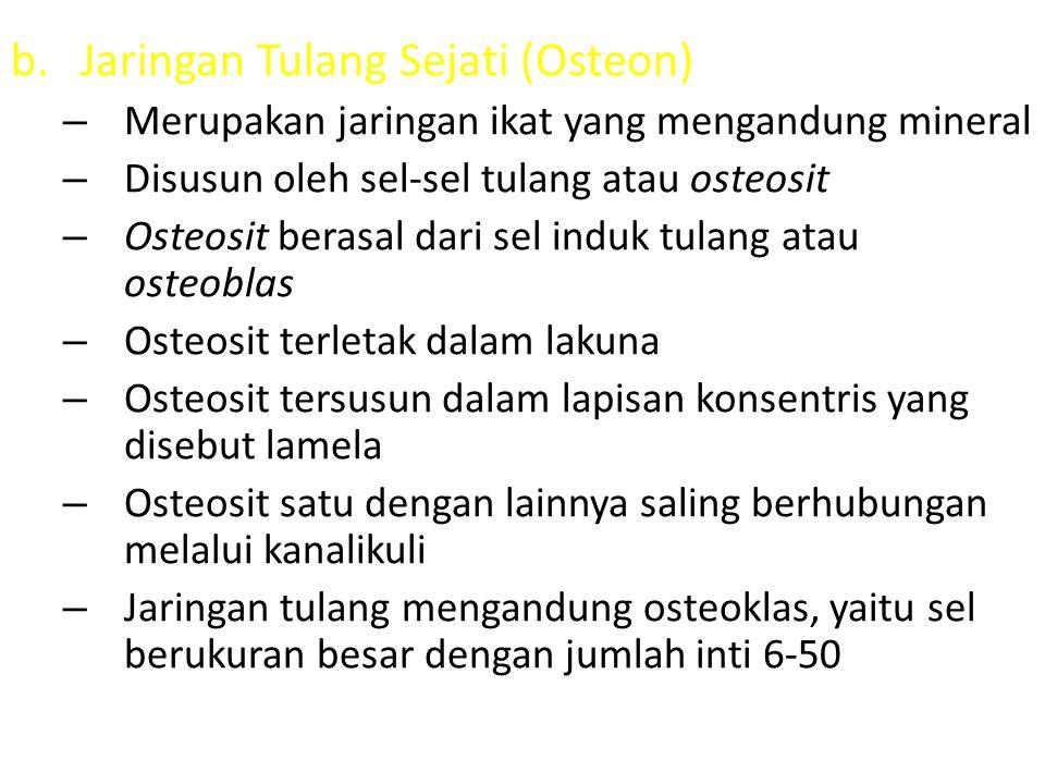 Jaringan Tulang Sejati (Osteon)