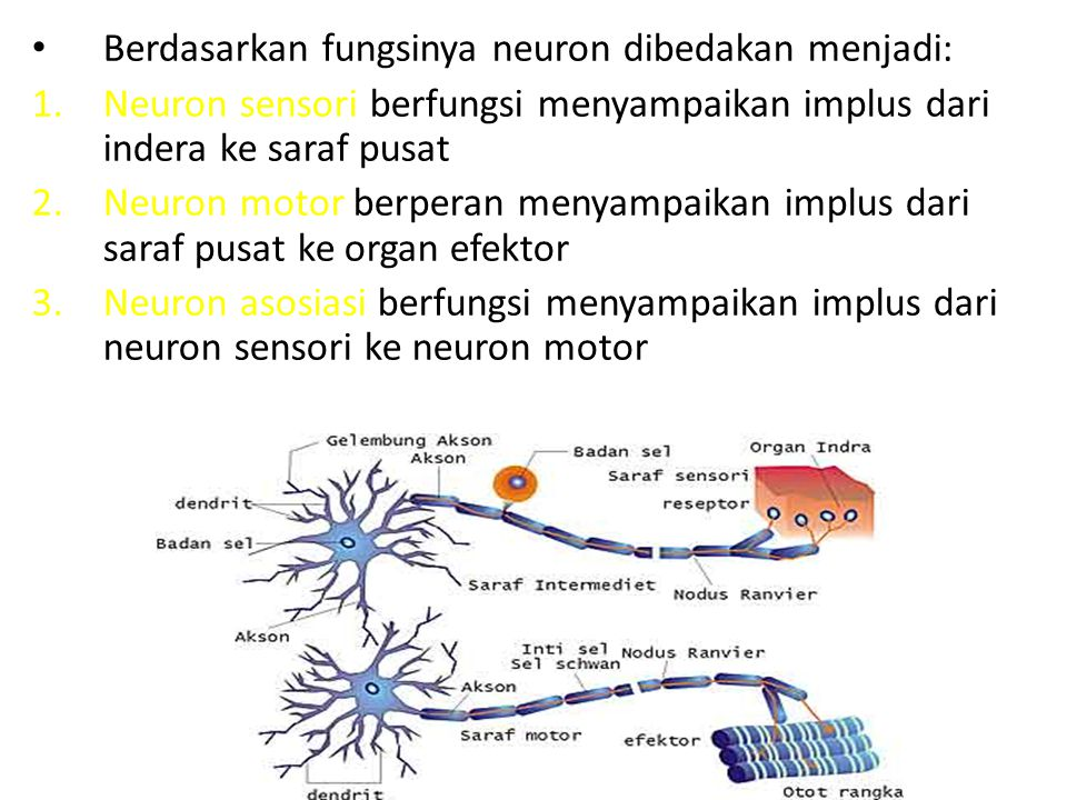 Berdasarkan fungsinya neuron dibedakan menjadi: