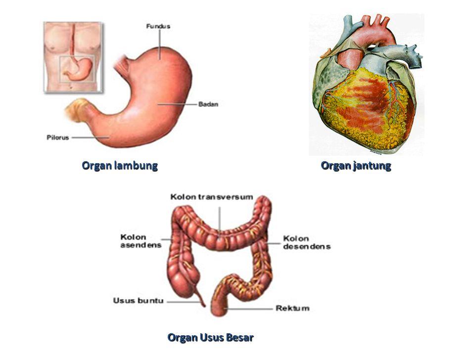 Organ lambung Organ jantung Organ Usus Besar