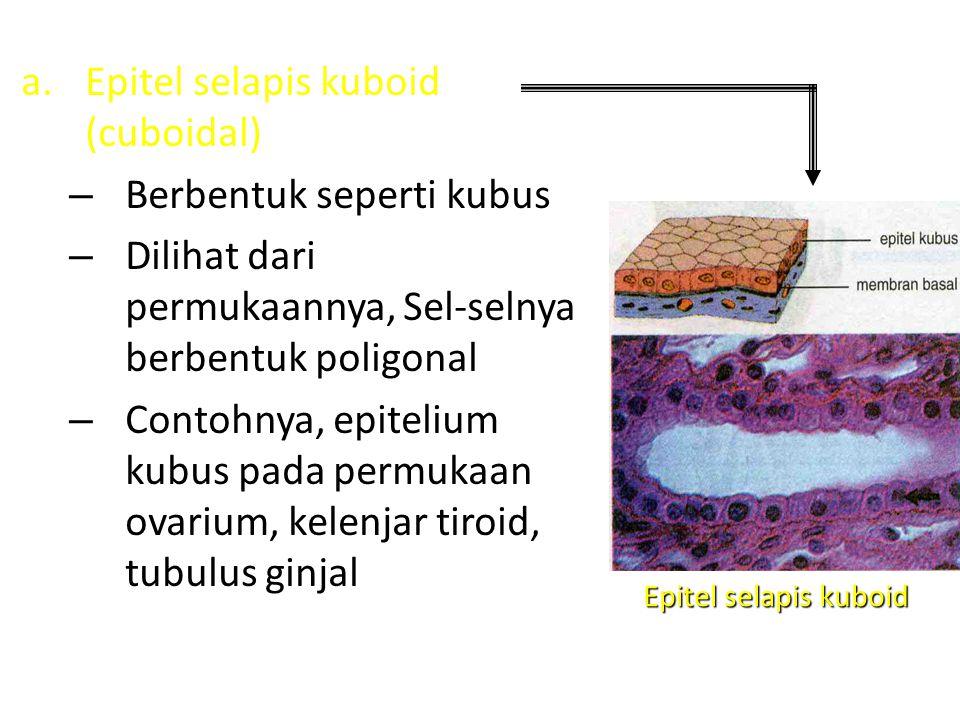 Epitel selapis kuboid (cuboidal) Berbentuk seperti kubus