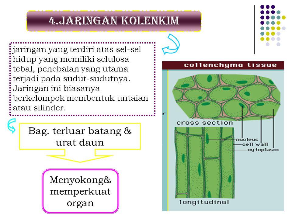 4.Jaringan kolenkim Bag. terluar batang & urat daun