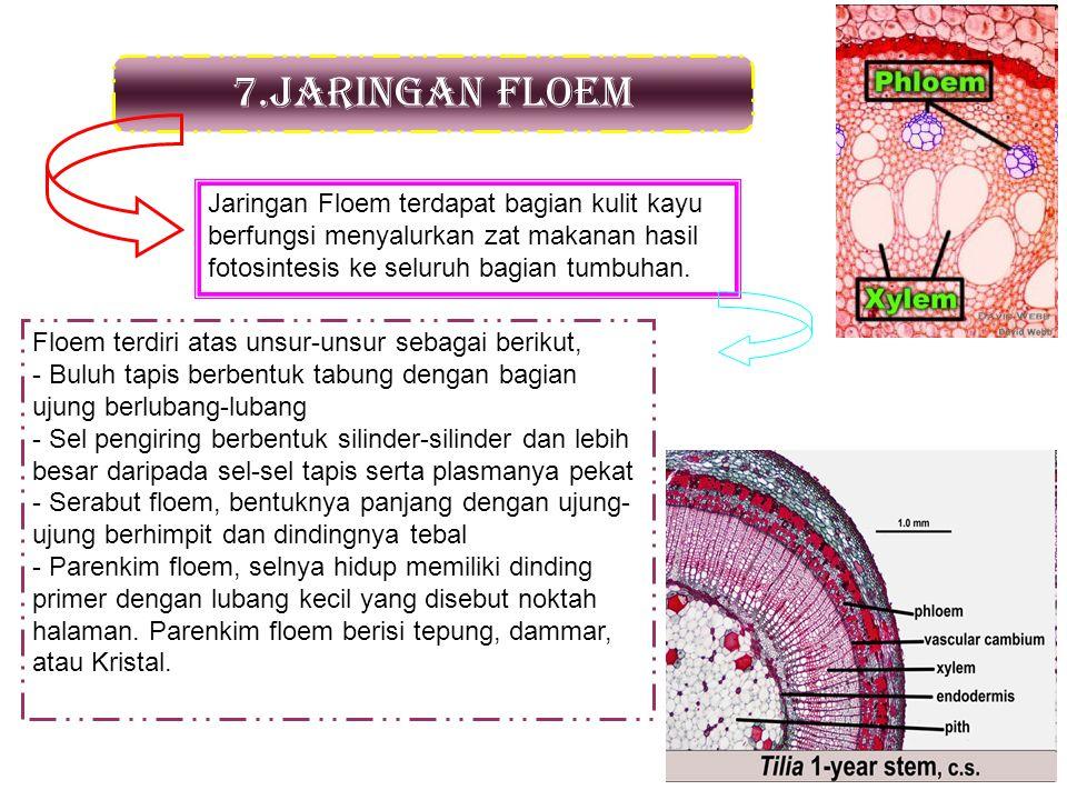 7.Jaringan floem Jaringan Floem terdapat bagian kulit kayu berfungsi menyalurkan zat makanan hasil fotosintesis ke seluruh bagian tumbuhan.