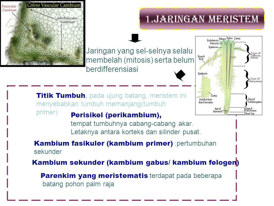 1.Jaringan Meristem Jaringan yang sel-selnya selalu membelah (mitosis) serta belum berdifferensiasi.