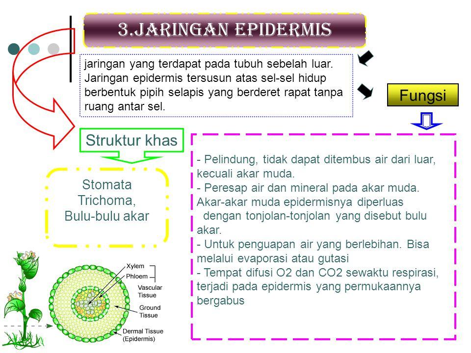 3.Jaringan epidermis Fungsi Struktur khas Stomata Trichoma,