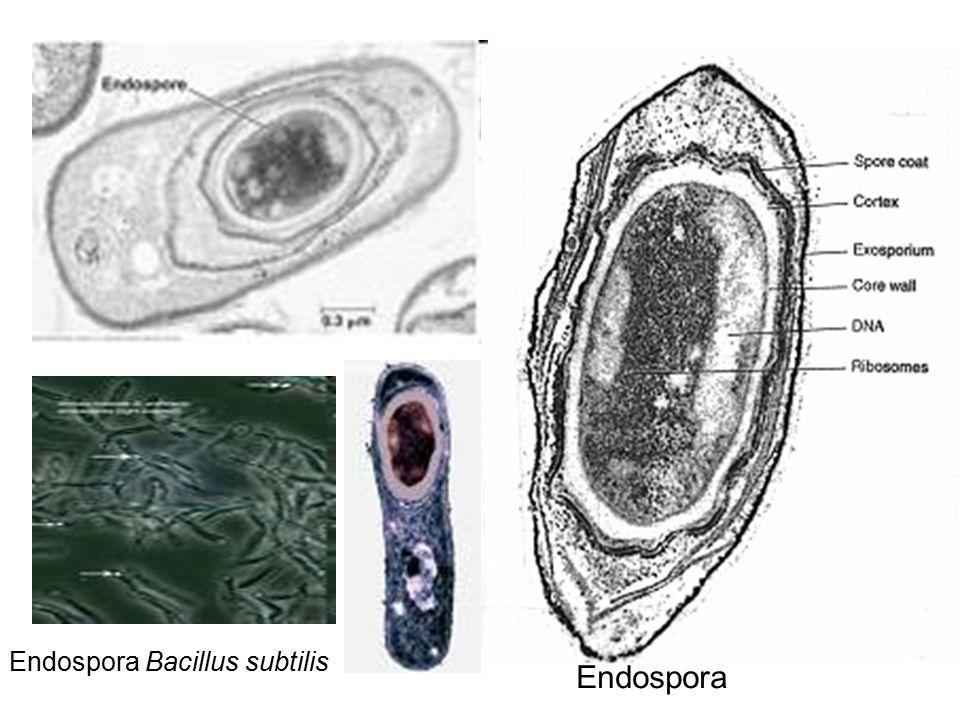 Endospora Bacillus subtilis