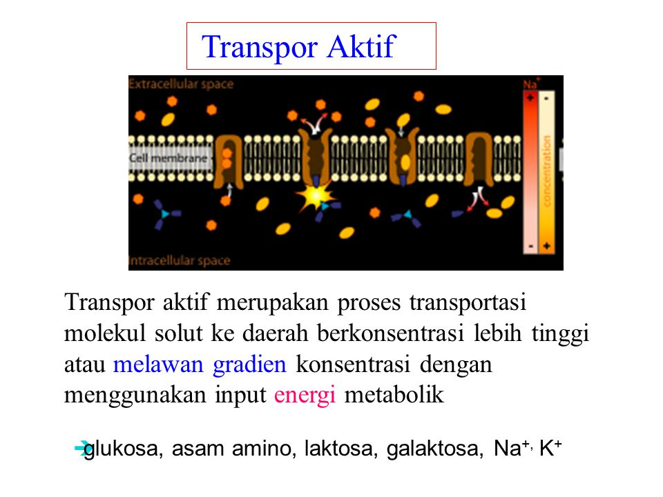 Transpor Aktif ions, glucose, and amino acids.
