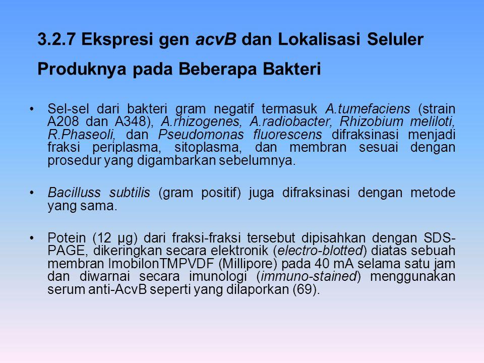 3.2.7 Ekspresi gen acvB dan Lokalisasi Seluler Produknya pada Beberapa Bakteri