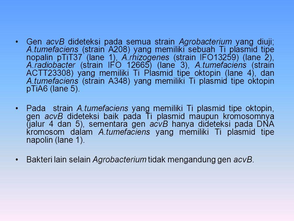 Gen acvB dideteksi pada semua strain Agrobacterium yang diuji; A