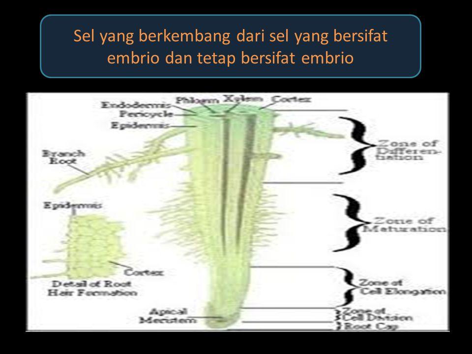 Sel yang berkembang dari sel yang bersifat embrio dan tetap bersifat embrio
