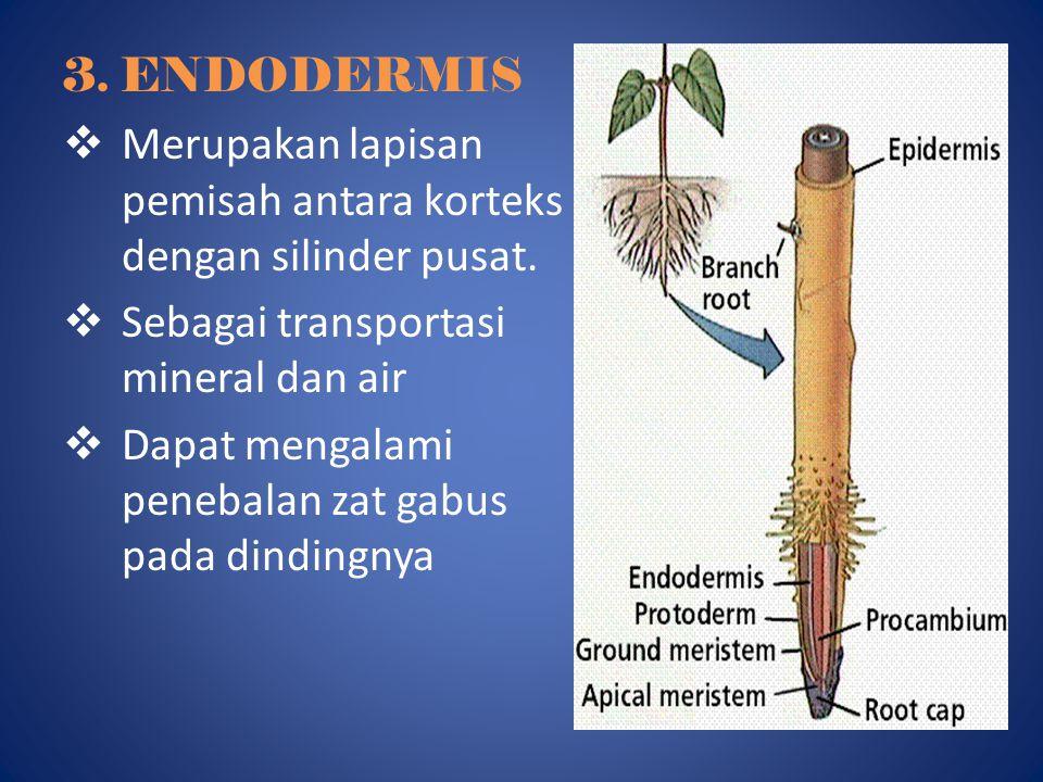 3. ENDODERMIS Merupakan lapisan pemisah antara korteks dengan silinder pusat. Sebagai transportasi mineral dan air.