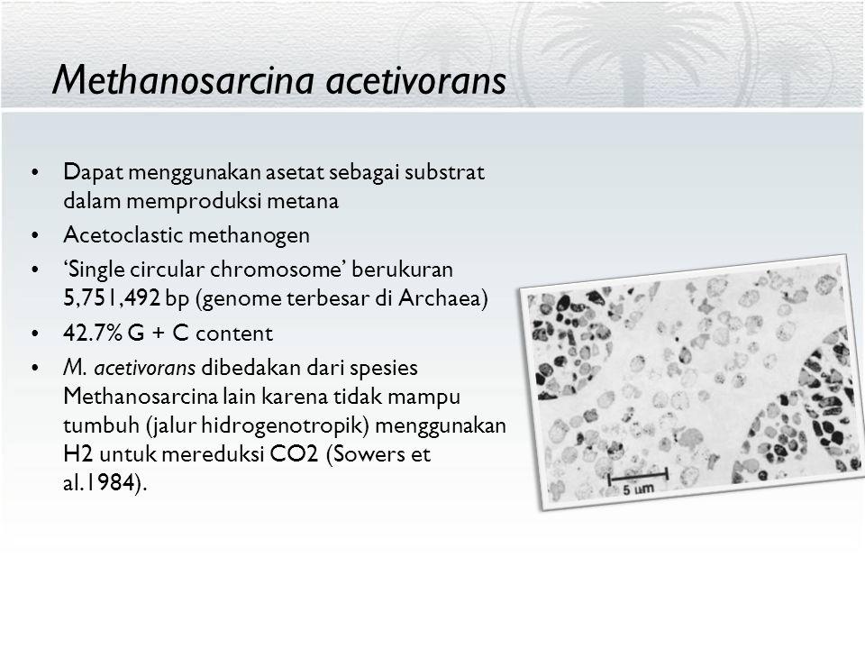 Methanosarcina acetivorans