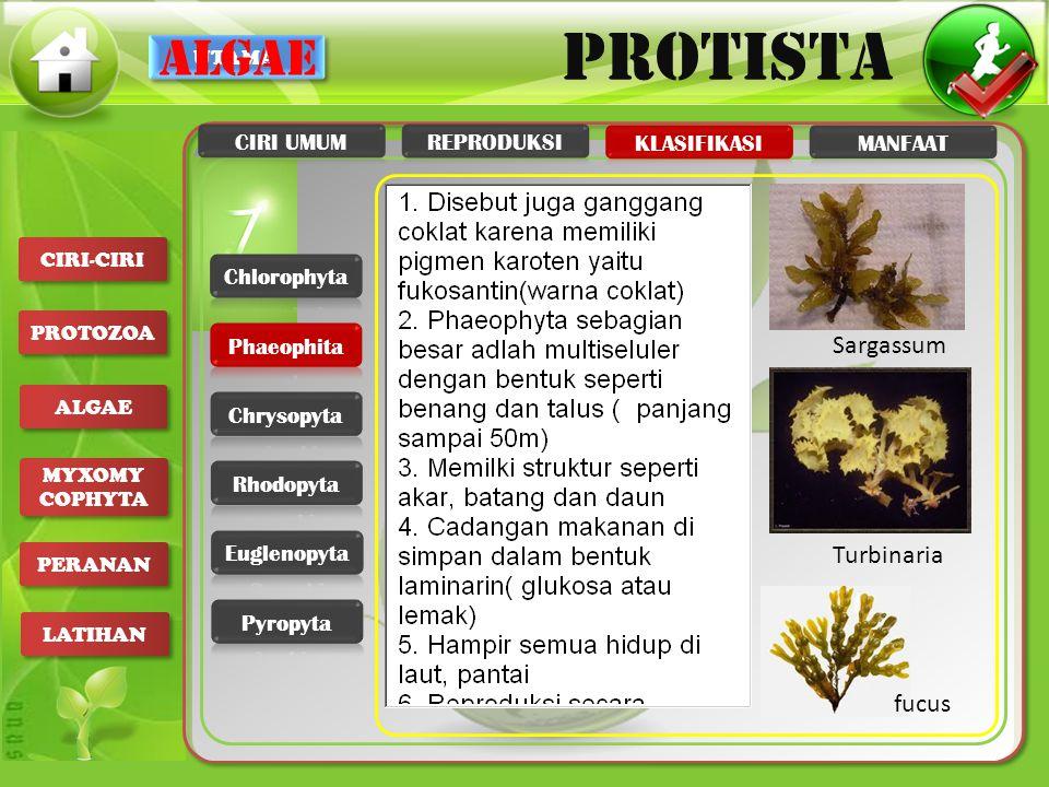 algae Sargassum Turbinaria fucus CIRI UMUM REPRODUKSI KLASIFIKASI