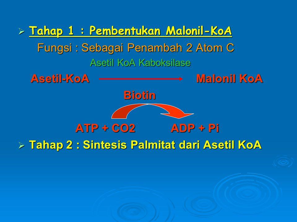Tahap 1 : Pembentukan Malonil-KoA Fungsi : Sebagai Penambah 2 Atom C