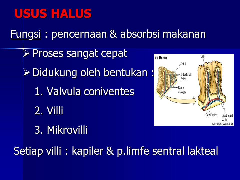 USUS HALUS Fungsi : pencernaan & absorbsi makanan Proses sangat cepat