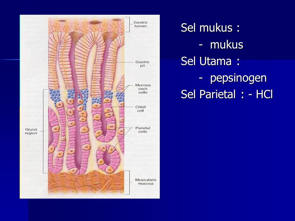 Sel mukus : - mukus Sel Utama : - pepsinogen Sel Parietal : - HCl