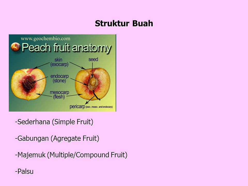 Struktur Buah Buah Masak Biji (Seed) Kulit Buah (Pericarp) - Exocarp
