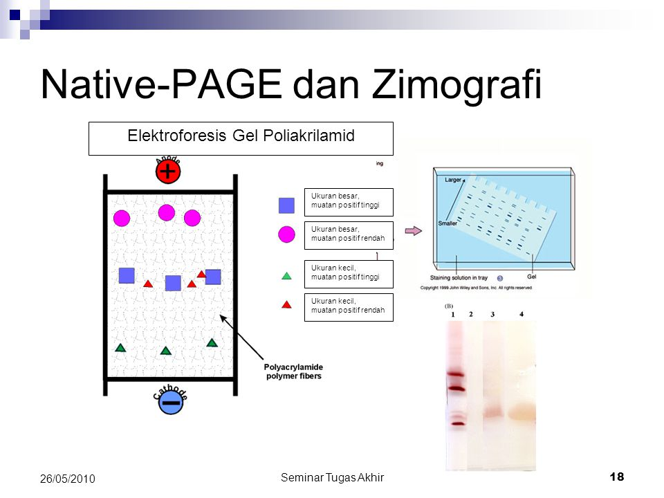 Native-PAGE dan Zimografi