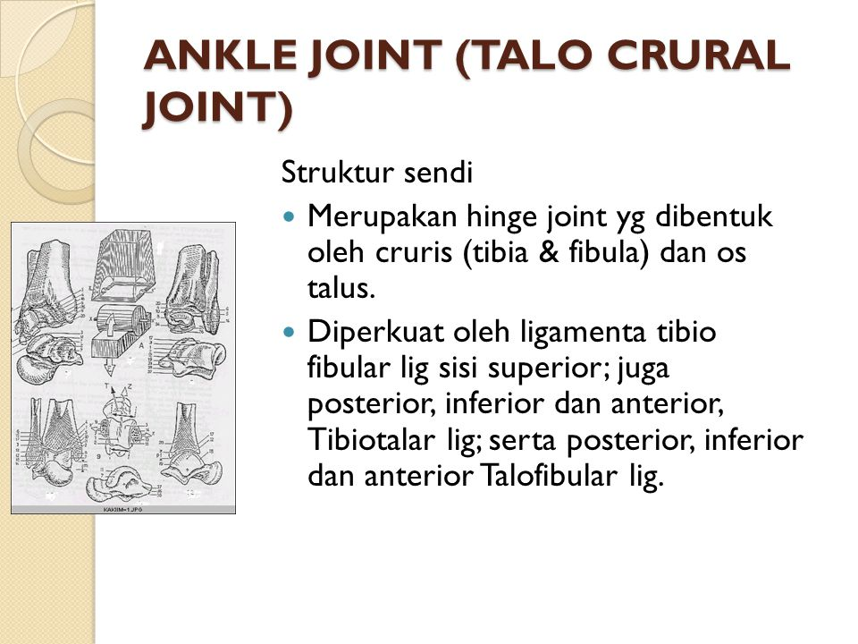 ANKLE JOINT (TALO CRURAL JOINT)