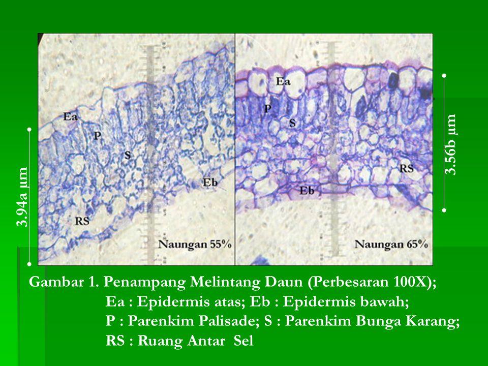 3.56b µm 3.94a µm. Gambar 1. Penampang Melintang Daun (Perbesaran 100X); Ea : Epidermis atas; Eb : Epidermis bawah;
