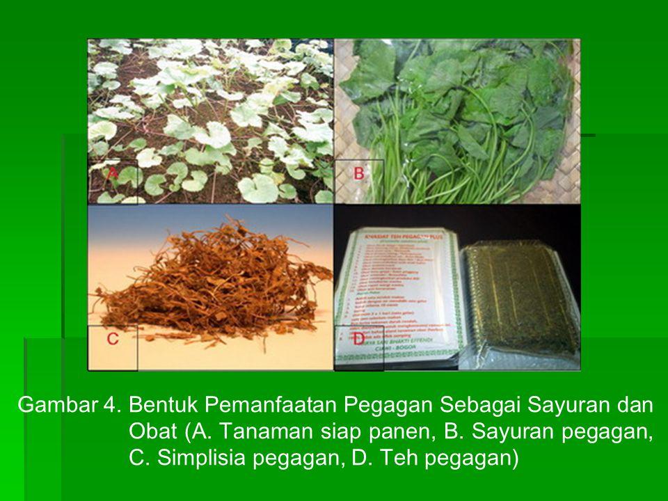 Gambar 4. Bentuk Pemanfaatan Pegagan Sebagai Sayuran dan Obat (A