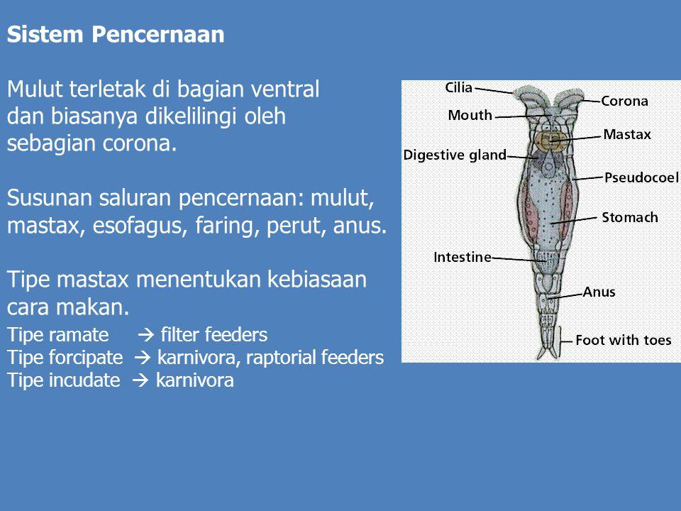 Mulut terletak di bagian ventral dan biasanya dikelilingi oleh