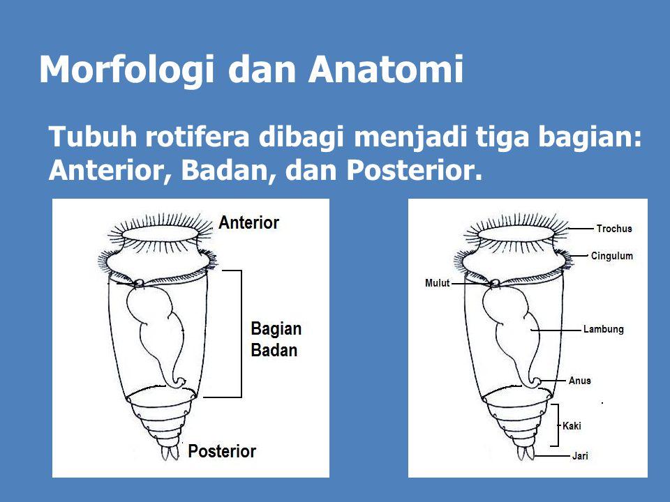 Morfologi dan Anatomi Tubuh rotifera dibagi menjadi tiga bagian: