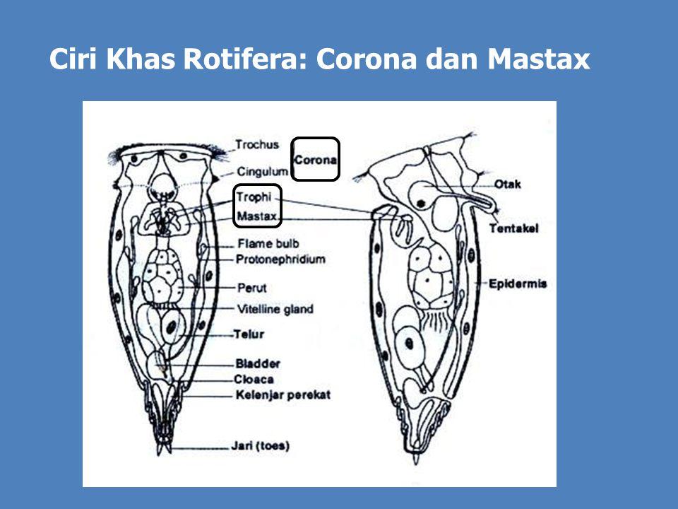 Ciri Khas Rotifera: Corona dan Mastax