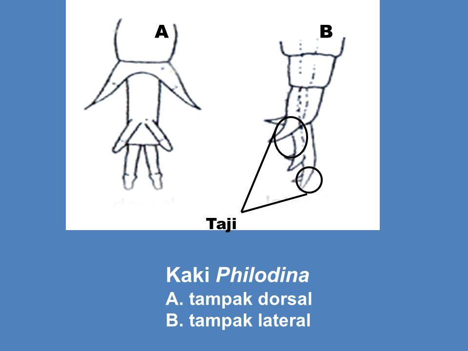 Taji A B Kaki Philodina A. tampak dorsal B. tampak lateral