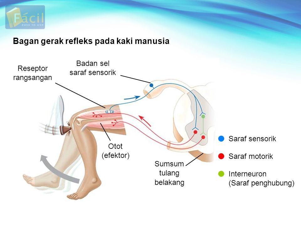 Bagan gerak refleks pada kaki manusia